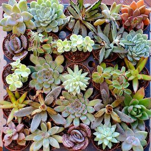 "Succulent Mystery Box, set of 3, 2"" pots, variety"